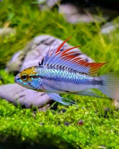 Aquarium Care for Freshwater Fish Aquarium Fish For Sale, Tropical Fish Aquarium, Nature Aquarium, Planted Aquarium, Aquarium Aquascape, Aquarium Ideas, Tropical Freshwater Fish, Freshwater Aquarium Fish, Aquascaping