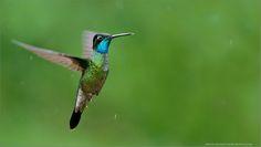 Magnificent Hummingbird in Flight by Raymond Barlow on 500px