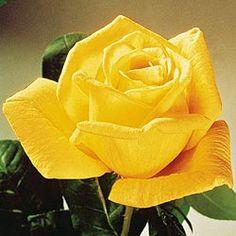 v for victory hybrid tea rose