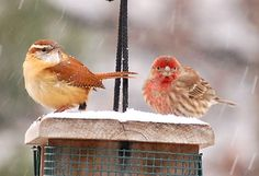 Carolina Wren and House Finch- pic taken by mom