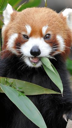 fox_fire_grass_eat_panda_1979_640x1136 | por vadaka1986