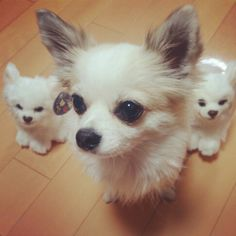 fake ?? (´・д・`) #Chihuahua #チワワ