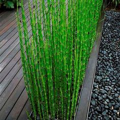 Pond Plants, Big Plants, Bamboo Plants, Tall Plants, Garden Plants, Garden Pond, Potted Bamboo, Bamboo Garden Fences, Bonsai Plants