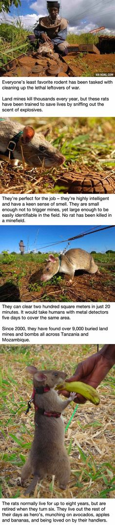 These rats in Africa are saving tons of lives in the most awesome way possible... and people used Behaviorism to make it happen.