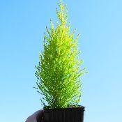 Miniature Garden Tree Monteray Cypress