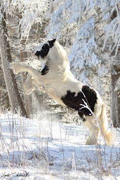 Rubin Aprecia O SnowAgata Chodorowska - Fotografia