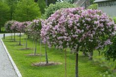 What a dream! Martha Stewart's drive leading to her farm. Miss Kim Korean lilac standards. Deciduous Trees, Trees And Shrubs, Trees To Plant, Garden Landscape Design, Garden Landscaping, Korean Lilac Tree, Lilac Plant, Plant Design, Topiary