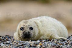 Zeehondje - Junge Kegelrobbe - Young Grey Seal by Erwin Maassen van den Brink