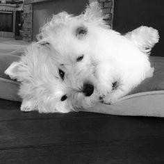 Cuddles by emma_the_westie
