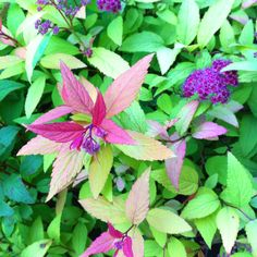 Spirea 'Golden Flame' - are the flowers pink or purple?  Some pics look pink, but this one looks purple