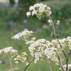 Cow Parsley   I love this time of year when all the Somerset lanes are lined with Cow Parsley. It's such a beautiful sight.  I'm feeling the urge to capture some in silver.... #beautifulandeccentric