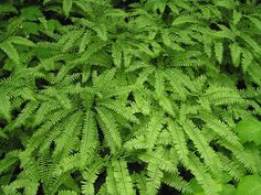 Up for your consideration are 5 Beautiful Maidenhair Fern - Bare Root. Heavy fern combinations I have to add extra. Uses, Shade gardens, fern collections, native plant, bog garden. A Great fern to add to your garden! Country Landscaping, Home Landscaping, Florida Landscaping, Bog Garden, Shade Garden, Maidenhair Fern, Shady Tree, Agricultural Science, Garden Solutions