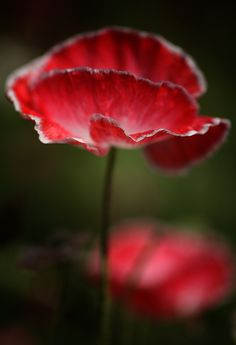 Poppy by Harry L on 500px