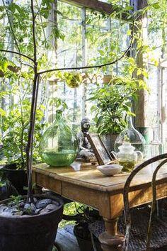 GRØNN JUNGEL: Nytrukket te av solbær- og bringebærblader fra egen hage, strålende discokuler og Ingvilds fikentre som ga mange søte frukter ...