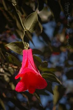 This beautiful flower, called Copihue (Lapageria rosea), is the national flower of Chile. The Beautiful Country, You Are Beautiful, Beautiful Flowers, Beautiful Pictures, Beautiful Boys, Thinking Day, Trees And Shrubs, Exotic Flowers, Mother Earth