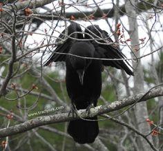 Angel Crow