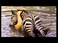 A zebra luckily survived from lion's attack!