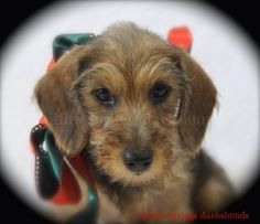 Willow Springs Dachshunds. Adorable!