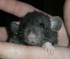 Tamme Ratten