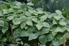 깻잎쌈 샐러드 한쌈씩 들고 먹어요.텃밭요리 : 네이버 블로그 Spinach, Vegetables, Cooking, Plants, Food, Kitchens, Kitchen, Essen, Vegetable Recipes