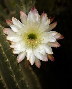 beauté rendez-vous: Fleur de cactus par debbie_dicarlo sur Flickr