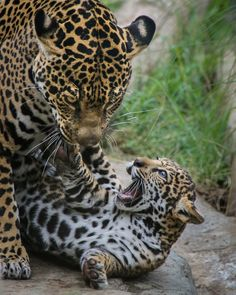 Oh Mom - You Slay Me! | Playtime for Nindiri the Jaguar and her son, Valerio, born March 12th, 2015.