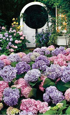 Mophead hydrangeas in bloom. Love the white gate in contrast to the beautiful colors in my FAVE flower!