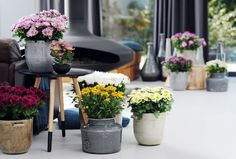 Lots of planters full of potted mums! #houseplant