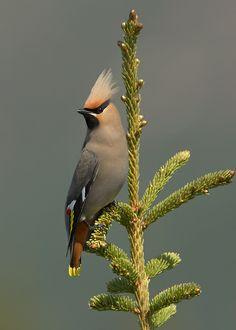 Bohemian Waxwing--Love this birdie!  dk