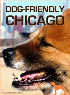 Are you and your pup looking for a new dog-friendly city to call home? Well, Chicago is a great choice; it's on our list of the top 10 dog-friendly cities. Here's the skinny on dog-friendly Chicago. [Rent.com Blog]  #Chicago #dogs #pets