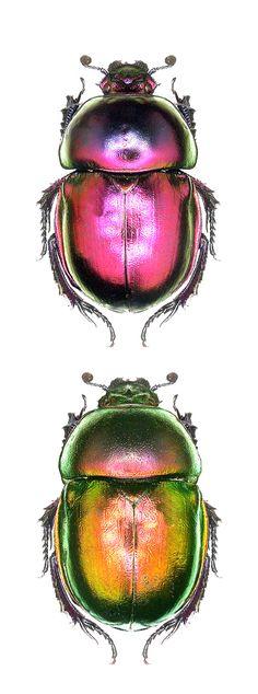 Trypocopris fulgidus Más