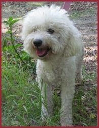 Entourage is an adoptable Poodle Dog in Naples, FL. Entourage is a 3 year old neutered male Minature Poodle. He is a sweet dog that would do best in a quiet home. He weighs about 10 lbs. His adopti...