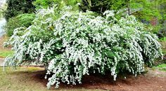 Must-Have Shrubs with White Flowers.to Extend the Life of Your Garden 5 Must Have Shrubs with White Flowers (Reeves' Spirea) - Redeem Your Ground Front House Landscaping, Outdoor Landscaping, Landscaping Ideas, Texas Landscaping, Shade Garden, Garden Plants, White Flowering Shrubs, Shrubs With White Flowers, Bridal Wreath Spirea
