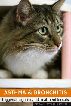 Feline asthma is very similar to asthma in humans. We discuss the signs, how it's diagnosed and treatment for cats   Feline Asthma and Bronchitis: Triggers and Treatment