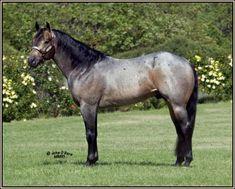 His Steadfast Heart - AQHA Stallion - Griffith Quarter Horses, Williams, CA 97% foundation, buckskin roan