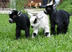 Pygmy Goats - A pygmy goat is a breed of miniature domestic goat. Pygmy goats tend to be kept as pets primarily, though also work well as milk producers and working animals. Mini Goats, Cute Goats, Baby Goats, Baby Pygmy Goats, Cabras Animal, Mundo Animal, Cute Baby Animals, Farm Animals, Funny Animals