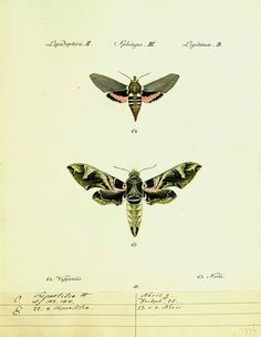 dendroica:  Sphinx moths by BioDivLibrary on Flickr. Hübner's papilio. S.l. :s.n.,1796-1841.biodiversitylibrary.org/page/42010116