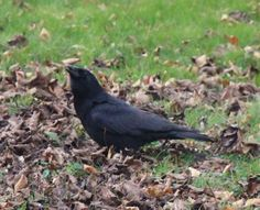 American Crow, spotted in Chazy, NY
