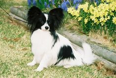 Papillon My first one Gigi looked like this one she was the best.