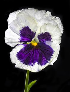 Backlit Purple And White Pansy | Bill Gracey | Flickr - Photo Sharing!