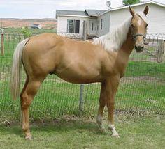 "Palamino Quarter Horse My ""yellow rose of Texas"""