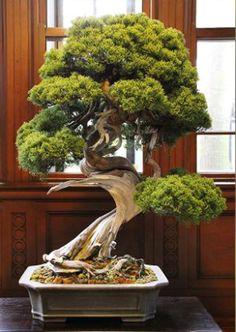 Promoting and Expanding the Bonsai Universe Political Pictures, Bonsai Tree Care, Bonsai Trees, Juniper Bonsai, West Art, Miniature Trees, Bonsai Plants, Plants Online, Garden Spaces
