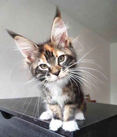 Oh my, what big ears you have… #awesome #cats #cat