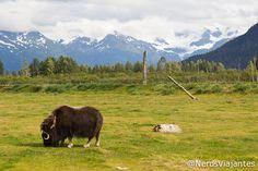 Musk Ox - Alaska Wildlife Conservation Center - Alaska - USA