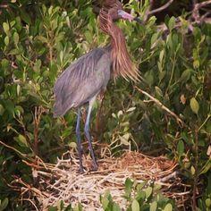 Garza macho reconstruyendo el nido isla holbox
