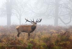 Roaring stag - Pinned by Mak Khalaf Animals animaldeerenglandlondonparkroarstagukwildwildlife by londonietis