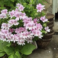In the greenhouse today.  Scented leaved pelargoniums terracotta pots and a foxglove growing through the cobbled floor