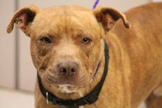 NAME: Red  ANIMAL ID: 24457099  BREED: Pit  SEX: male-neutered  EST. AGE: 2 yr  Est Weight: 49 lbs  Health: heartworm neg  Temperament: dog friendly, people friendly.  ADDITIONAL INFO: RESCUE PULL FEE: $49  Intake date: 4/4  Available: Now