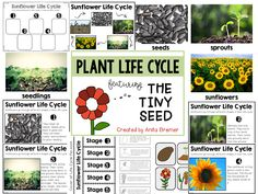 The Tiny Seed Book Companion and Plant Life Cycle Bug Activities, Guided Reading Activities, 1st Grade Activities, Earth Day Activities, Sequencing Activities, Spring Activities, Sunflower Life Cycle, Life Cycle Stages, The Tiny Seed