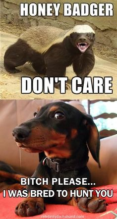 did not know this wow those badgers are fierce. I have a whole new respect for the breed Its funny because its true dachshund doxie badgerdog Dachshund Funny, Mini Dachshund, Dachshund Puppies, Funny Dogs, Cute Puppies, Funny Animals, Daschund, It's Funny, Dapple Dachshund